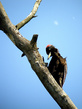 Crna_zolna_Black_woodpecker_01.jpg