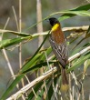 Crnoglavi-strnad_Black_headed_Bunting_06~0.jpg