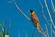 Crnoglavi-strnad_Black_headed_Bunting_1.jpg
