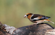 Dlesk_Coccothraustes_coccothraustes_Hawfinch_10.jpg