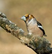 Dlesk_Coccothraustes_coccothraustes_Hawfinch_13.jpg
