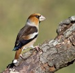 Dlesk_Coccothraustes_coccothraustes_Hawfinch_19.jpg