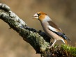 Dlesk_Coccothraustes_coccothraustes_Hawfinch_20.jpg