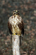 Kanja_Common_buzzard_Buteo_buteo_02.jpg