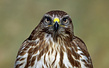 Kanja_Common_buzzard_Buteo_buteo_05.jpg
