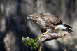 Kanja_Common_buzzard_Buteo_buteo_07.jpg