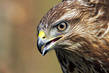 Kanja_Common_buzzard_Buteo_buteo_09.jpg