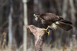 Kanja_Common_buzzard_Buteo_buteo_10.jpg