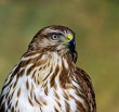 Kanja_Common_buzzard_Buteo_buteo_13.jpg