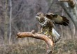 Kanja_Common_buzzard_Buteo_buteo_16.jpg