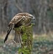 Kanja_Common_buzzard_Buteo_buteo_16~0.jpg