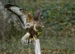 Kanja_Common_buzzard_Buteo_buteo_25.jpg