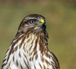 Kanja_Common_buzzard_Buteo_buteo_26.jpg