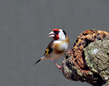 Liscek_Goldfinch_01.jpg