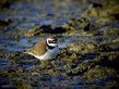 Mali-dezevnik_Little_ringed_plover_01.jpg