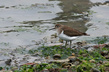 Mali_martinec_Common_sandpiper_01.jpg