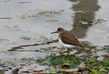 Mali_martinec_Common_sandpiper_02.jpg