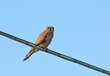 Navadna_postovka_Common_kestrel_01.jpg
