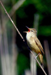 Rakar_Great_reed_warbler_01.jpg