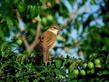 Rakar_Great_reed_warbler_02.jpg