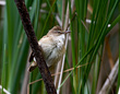 Rakar_Great_reed_warbler_08.jpg