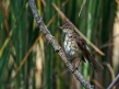 Rakar_Great_reed_warbler_10.jpg