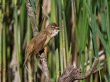Rakar_Great_reed_warbler_11.jpg