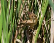 Rakar_Great_reed_warbler_12.jpg