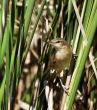 Rakar_Great_reed_warbler_15.jpg