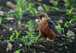 Rdecenoga_postovka_Red_footed_falcon_Falco_vespertinus_Sokoli_Falconidae_01~0.jpg