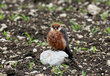 Rdecenoga_postovka_Red_footed_falcon_Falco_vespertinus_Sokoli_Falconidae_09.jpg
