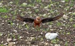 Rdecenoga_postovka_Red_footed_falcon_Falco_vespertinus_Sokoli_Falconidae_09~3.jpg
