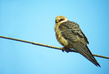 Rdecenoga_postovka_Red_footed_falcon_Falco_vespertinus_Sokoli_Falconidae_12.jpg