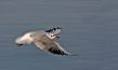 Recni_galeb_Black_headed_gull_01.jpg