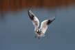 Recni_galeb_Black_headed_gull_02.jpg