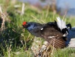 Rusevec_Black_grouse_06.jpg