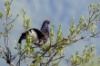 Rusevec_Black_grouse_08.jpg