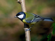 Velika_sinica_Great_tit_01.jpg