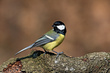 Velika_sinica_Great_tit_04.jpg