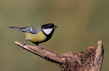 Velika_sinica_Great_tit_05.jpg