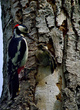 Veliki detel_Great_spotted_woodpecker_Picoides-major-02.jpg