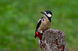 Veliki detel_Great_spotted_woodpecker_Picoides-major-05.jpg