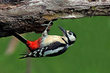 Veliki detel_Great_spotted_woodpecker_Picoides-major-06.jpg