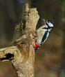 Veliki_detel_Great_spotted_woodpecker_Picoides-major_08.jpg