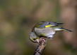 Zelenec_Greenfinch_02.jpg