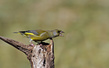 Zelenec_Greenfinch_08.jpg