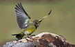 Zelenec_Greenfinch_09.jpg