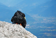Planinska_kavka_Alpine_chough_04.jpg