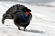 Rusevec_Black_grouse_03.jpg